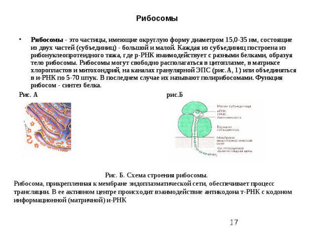 Рибосомы Рибосомы - это частицы, имеющие округлую форму диаметром 15,0-35 нм, состоящие из двух частей (субъединиц) - большой и малой. Каждая из субъединиц построена из рибонуклеопротеидного тяжа, где р-РНК взаимодействует с разными белками, образуя…