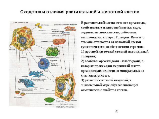 Сходства и отличия растительной и животной клеток
