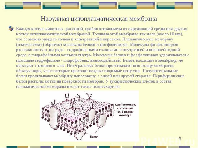 Наружная цитоплазматическая мембрана Каждая клетка животных, растений, грибов отграничена от окружающей среды или других клеток цитоплазматической мембраной. Толщина этой мембраны так мала (около 10 нм), что ее можно увидеть только в электронный мик…