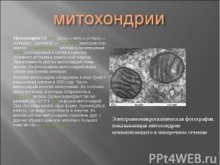 Митохондрия (от греч. μίτος— нить и χόνδρος— зёрнышко, крупинка)&nbs