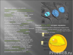 Ядро (лат. nucleus)— это один из структурных компонентов эукариотической к