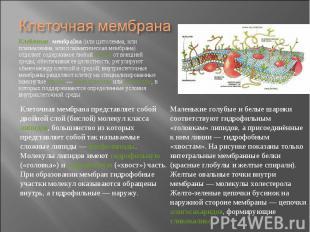 Кле точная мембра на (или цитолемма, или плазмалемма, или плазматическая мембран