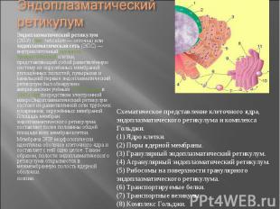 Эндоплазматический ретикулум (ЭПР) (лат.reticulum— сеточка) или эндо