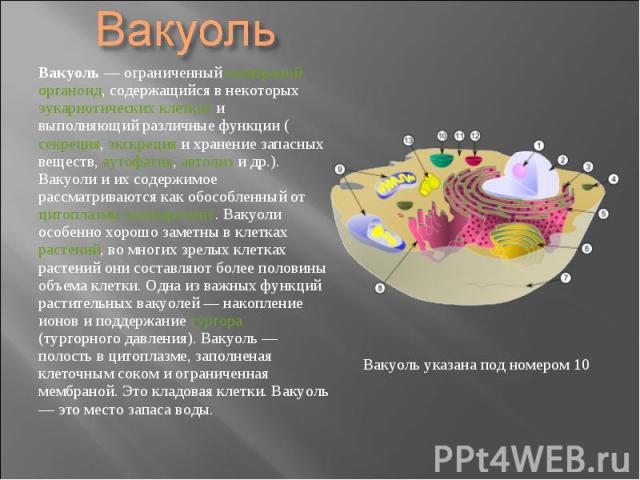 Вакуоль — ограниченный мембраной органоид, содержащийся в некоторых эукариотических клетках и выполняющий различные функции (секреция, экскреция и хранение запасных веществ, аутофагия, автолиз и др.). Вакуоли и их содержимое рассматриваются как обос…