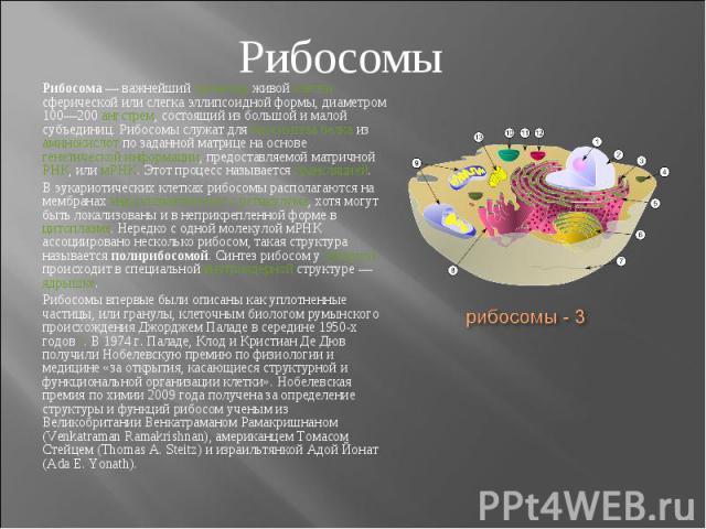 Рибосома— важнейший органоид живой клетки сферической или слегка эллипсоидной формы, диаметром 100—200 ангстрем, состоящий из большой и малой субъединиц. Рибосомы служат для биосинтеза белка из аминокислот по заданной матрице на основе генетич…