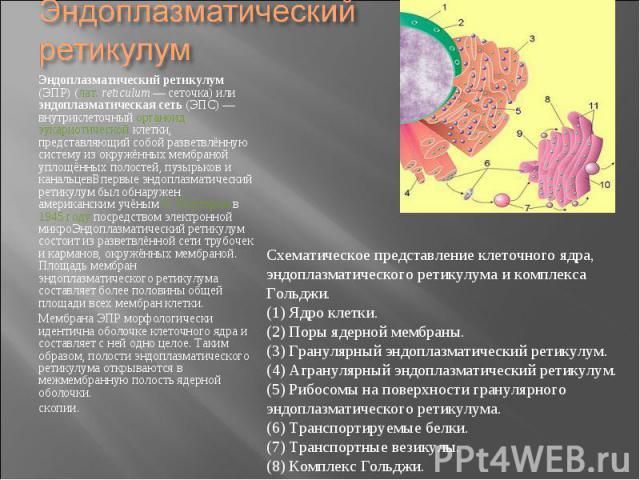 Эндоплазматический ретикулум (ЭПР) (лат.reticulum— сеточка) или эндоплазматическая сеть (ЭПС)— внутриклеточный органоид эукариотической клетки, представляющий собой разветвлённую систему из окружённых мембраной уплощённых полостей,…