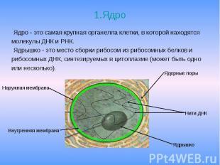 1.Ядро Ядро - это самая крупная органелла клетки, в которой находятся молекулы Д