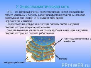 2.Эндоплазматическая сеть 2.Эндоплазматическая сеть