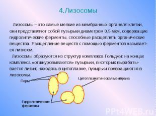 4.Лизосомы Лизосомы – это самые мелкие из мембранных органелл клетки, они предст