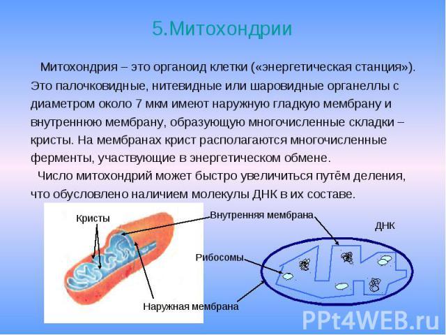 5.Митохондрии Митохондрия – это органоид клетки («энергетическая станция»). Это палочковидные, нитевидные или шаровидные органеллы с диаметром около 7 мкм имеют наружную гладкую мембрану и внутреннюю мембрану, образующую многочисленные складки – кри…