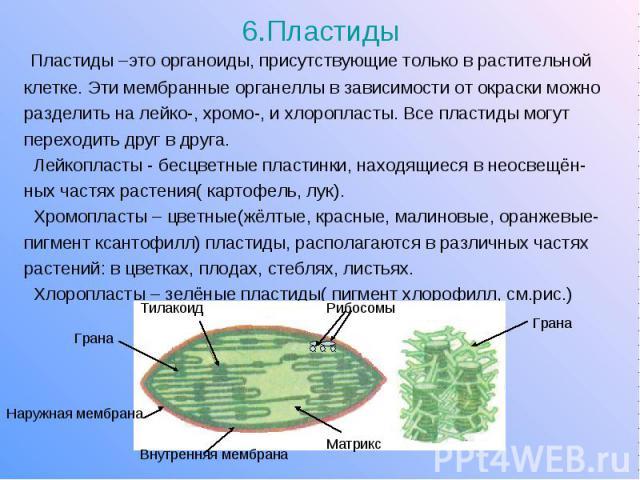 6.Пластиды Пластиды –это органоиды, присутствующие только в растительной клетке. Эти мембранные органеллы в зависимости от окраски можно разделить на лейко-, хромо-, и хлоропласты. Все пластиды могут переходить друг в друга. Лейкопласты - бесцветные…