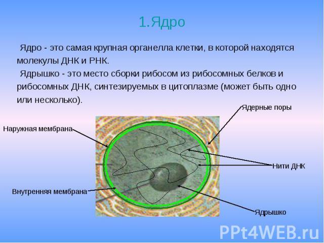 1.Ядро Ядро - это самая крупная органелла клетки, в которой находятся молекулы ДНК и РНК. Ядрышко - это место сборки рибосом из рибосомных белков и рибосомных ДНК, синтезируемых в цитоплазме (может быть одно или несколько).