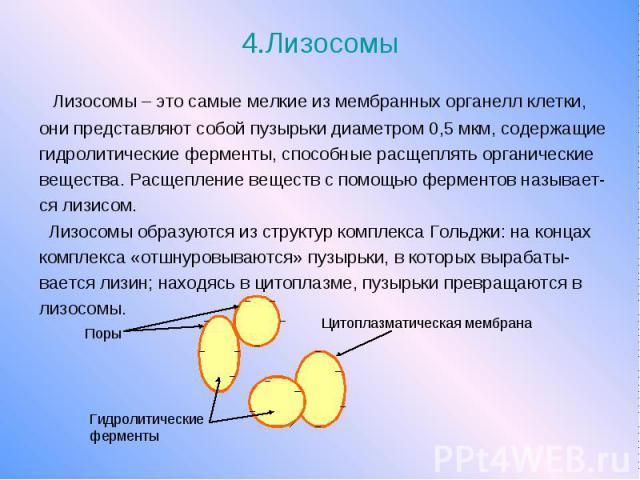 4.Лизосомы Лизосомы – это самые мелкие из мембранных органелл клетки, они представляют собой пузырьки диаметром 0,5 мкм, содержащие гидролитические ферменты, способные расщеплять органические вещества. Расщепление веществ с помощью ферментов называе…