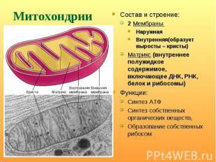 Состав и строение: Состав и строение: 2 Мембраны Наружная Внутренняя(образует вы