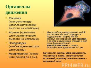 Реснички (многочисленные цитоплазматические выросты на мембране). Реснички (мног