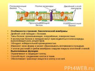 Особенности строения: биологической мембраны Особенности строения: биологической