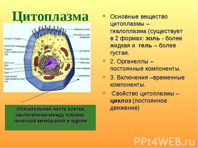 Основные вещество цитоплазмы – гиалоплазма (существует в 2 формах: золь - более жидкая и гель – более густая. Основные вещество цитоплазмы – гиалоплазма (существует в 2 формах: золь - более жидкая и гель – более густая. 2. Органеллы – постоянные ком…
