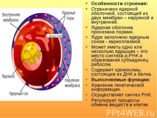 Особенности строения: Особенности строения: Ограничено ядерной оболочкой, состоящей из двух мембран– наружной и внутренней. Ядерная оболочка пронизана порами. Ядро заполнено ядерным соком - кариоплазмой. Может иметь одно или несколько ядрышек&…