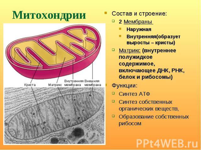 Состав и строение: Состав и строение: 2 Мембраны Наружная Внутренняя(образует выросты – кристы) Матрикс (внутреннее полужидкое содержимое, включающее ДНК, РНК, белок и рибосомы) Функции: Синтез АТФ Синтез собственных органических веществ, Образовани…