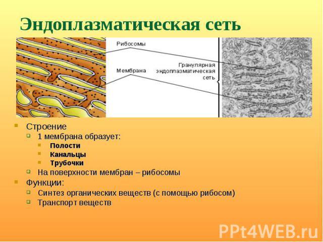 Строение Строение 1 мембрана образует: Полости Канальцы Трубочки На поверхности мембран – рибосомы Функции: Синтез органических веществ (с помощью рибосом) Транспорт веществ