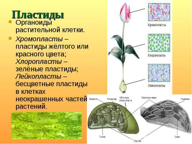 Органоиды растительной клетки. Органоиды растительной клетки. Хромопласты – пластиды жёлтого или красного цвета; Хлоропласты – зелёные пластиды; Лейкопласты – бесцветные пластиды в клетках неокрашенных частей растений.