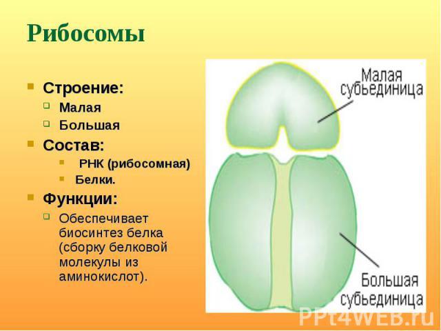 Строение: Строение: Малая Большая Состав: РНК (рибосомная) Белки. Функции: Обеспечивает биосинтез белка (сборку белковой молекулы из аминокислот).