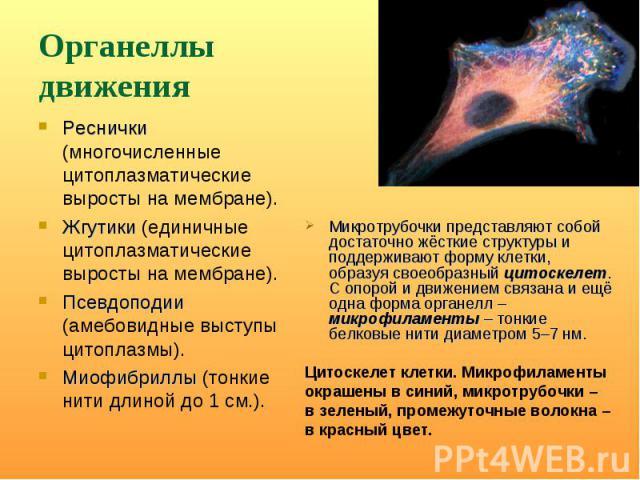 Реснички (многочисленные цитоплазматические выросты на мембране). Реснички (многочисленные цитоплазматические выросты на мембране). Жгутики (единичные цитоплазматические выросты на мембране). Псевдоподии (амебовидные выступы цитоплазмы). Миофибриллы…