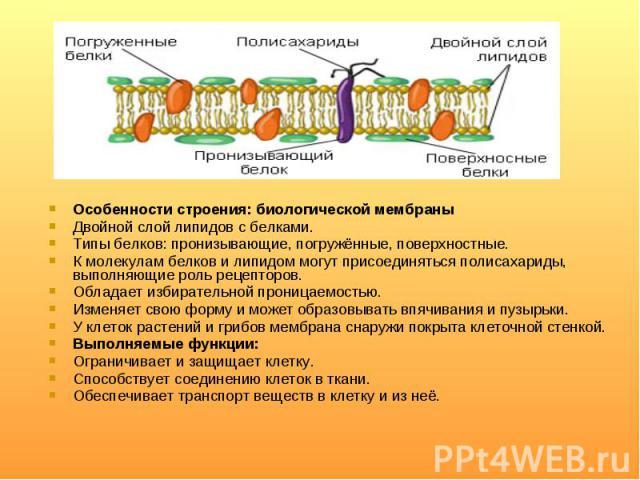 Особенности строения: биологической мембраны Особенности строения: биологической мембраны Двойной слой липидов с белками. Типы белков: пронизывающие, погружённые, поверхностные. К молекулам белков и липидом могут присоединяться полисахариды, выполня…