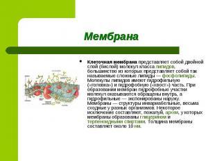 Клеточная мембрана представляет собой двойной слой (бислой) молекул класса липид