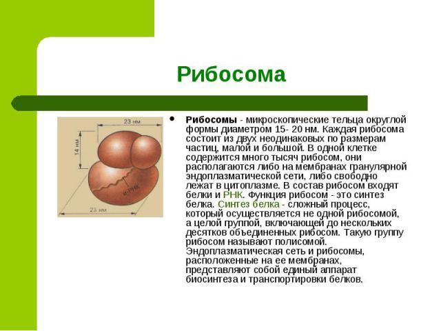 Рибосомы - микроскопические тельца округлой формы диаметром 15- 20 нм. Каждая рибосома состоит из двух неодинаковых по размерам частиц, малой и большой. В одной клетке содержится много тысяч рибосом, они располагаются либо на мембранах гранулярной э…