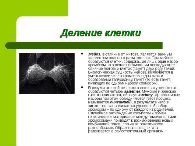 Мейоз, в отличие от митоза, является важным элементом полового размножения. При мейозе образуются клетки, содержащие лишь один набор хромосом, что делает возможным последующее слияние половых клеток (гамет) двух родителей. Биологическая сущность мей…