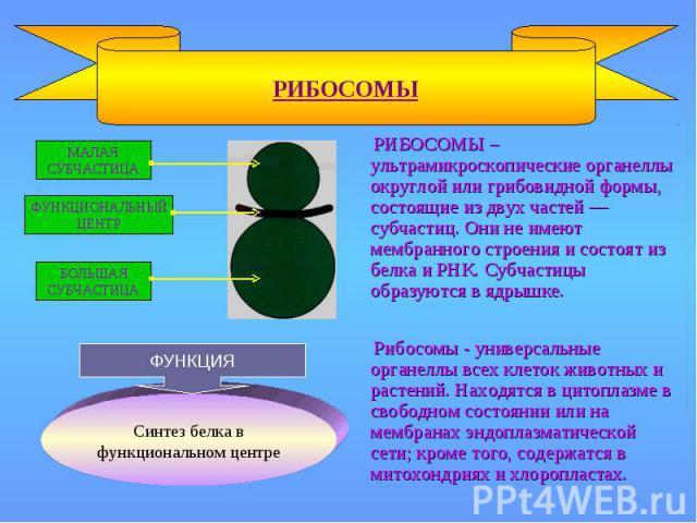 РИБОСОМЫ – ультрамикроскопические органеллы округлой или грибовидной формы, состоящие из двух частей — субчастиц. Они не имеют мембранного строения и состоят из белка и РНК. Субчастицы образуются в ядрышке. РИБОСОМЫ – ультрамикроскопические органелл…