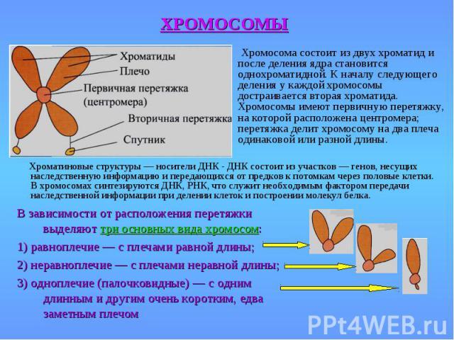Хромосома состоит из двух хроматид и после деления ядра становится однохроматидной. К началу следующего деления у каждой хромосомы достраивается вторая хроматида. Хромосомы имеют первичную перетяжку, на которой расположена центромера; перетяжка дели…