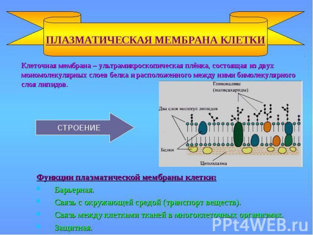 Клеточная мембрана – ультрамикроскопическая плёнка, состоящая из двух мономолекулярных слоев белка и расположенного между ними бимолекулярного слоя липидов. Клеточная мембрана – ультрамикроскопическая плёнка, состоящая из двух мономолекулярных слоев…