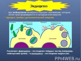 при эндоцитозе мембрана образует впячивания, которые затем трансформируются в пу