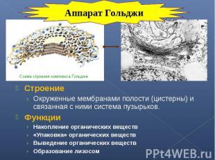 Строение Строение Окруженные мембранами полости (цистерны) и связанная с ними си