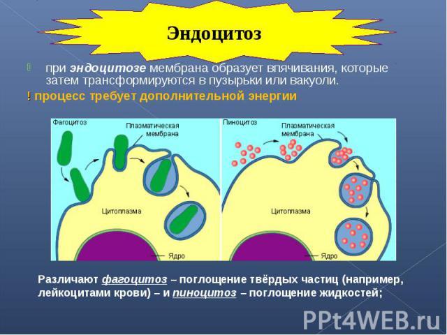 при эндоцитозе мембрана образует впячивания, которые затем трансформируются в пузырьки или вакуоли. при эндоцитозе мембрана образует впячивания, которые затем трансформируются в пузырьки или вакуоли. ! процесс требует дополнительной энергии