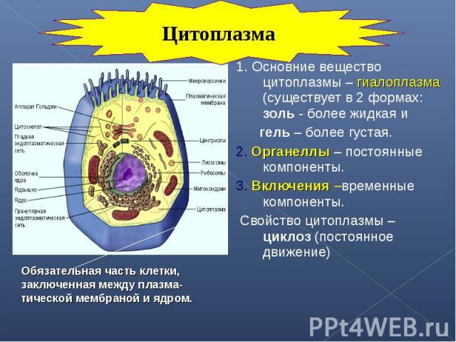 1. Основние вещество цитоплазмы – гиалоплазма (существует в 2 формах: золь - более жидкая и 1. Основние вещество цитоплазмы – гиалоплазма (существует в 2 формах: золь - более жидкая и гель – более густая. 2. Органеллы – постоянные компоненты. 3. Вкл…