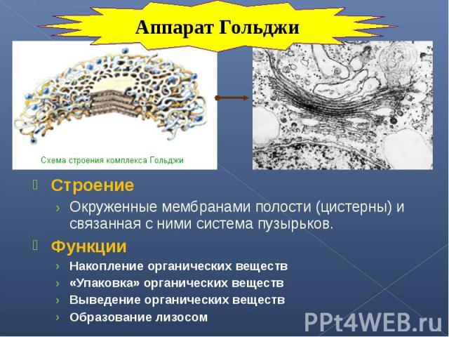 Строение Строение Окруженные мембранами полости (цистерны) и связанная с ними система пузырьков. Функции Накопление органических веществ «Упаковка» органических веществ Выведение органических веществ Образование лизосом