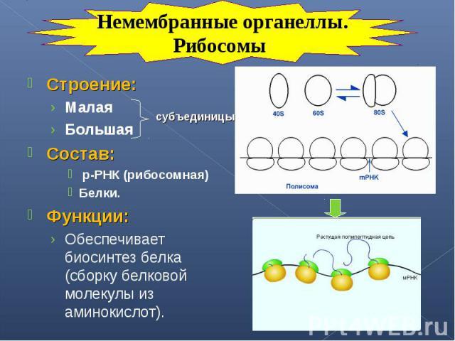 Строение: Строение: Малая Большая Состав: р-РНК (рибосомная) Белки. Функции: Обеспечивает биосинтез белка (сборку белковой молекулы из аминокислот).