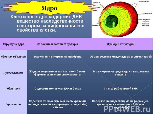 Клеточное ядро содержит ДНК- вещество наследственности, в котором зашифрованы все свойства клетки. Клеточное ядро содержит ДНК- вещество наследственности, в котором зашифрованы все свойства клетки.