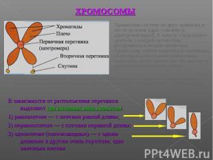 Хромосома состоит из двух хроматид и после деления ядра становится однохроматидн