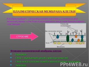 Клеточная мембрана – ультрамикроскопическая плёнка, состоящая из двух мономолеку