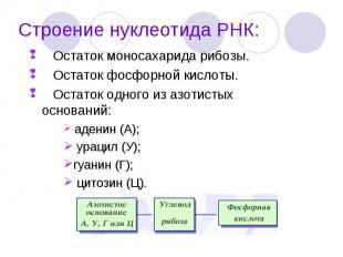 Остаток моносахарида рибозы. Остаток моносахарида рибозы. Остаток фосфорной кисл