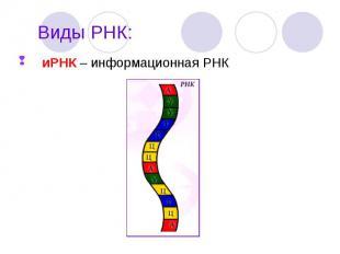 иРНК – информационная РНК иРНК – информационная РНК