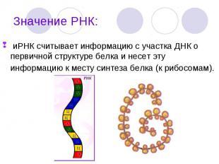 иРНК считывает информацию с участка ДНК о первичной структуре белка и несет эту