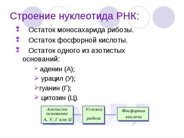 Остаток моносахарида рибозы. Остаток моносахарида рибозы. Остаток фосфорной кислоты. Остаток одного из азотистых оснований: аденин (А); урацил (У); гуанин (Г); цитозин (Ц).