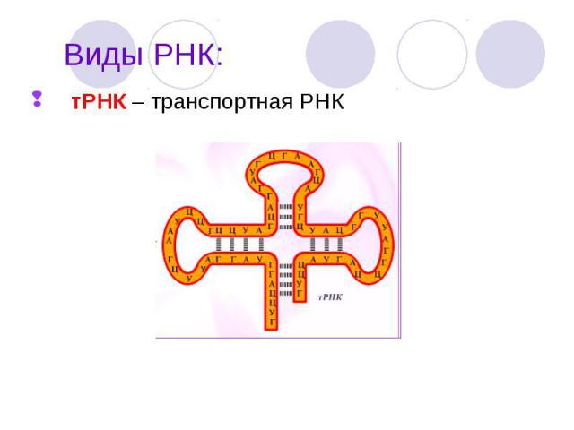 тРНК – транспортная РНК тРНК – транспортная РНК