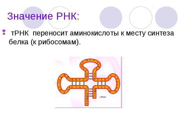 тРНК переносит аминокислоты к месту синтеза белка (к рибосомам). тРНК переносит аминокислоты к месту синтеза белка (к рибосомам).