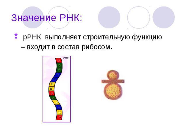 рРНК выполняет строительную функцию – входит в состав рибосом. рРНК выполняет строительную функцию – входит в состав рибосом.
